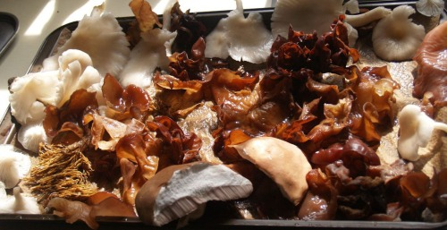 Oyster Mushrooms, Wood Ears, Coral Fungus, and Boletes. FYI, I didn't eat all of these mushroom varietes