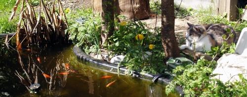 Nepeta hunting goldfish