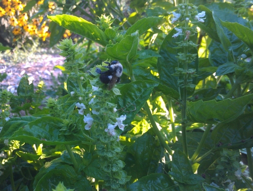 This bumblebee is enjoying my basil flowers