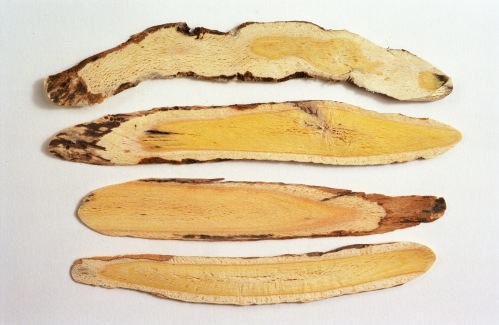 Astragalus roots