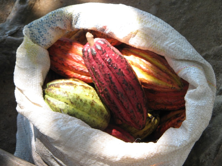 These cacao pods are full of heart healthy cacao beans