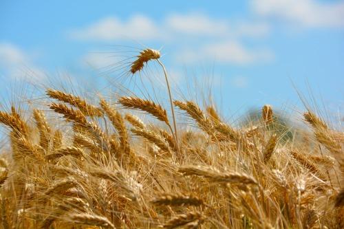wheat-173366_1280